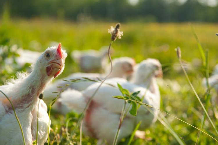 Diferencia entre huevos organicos de granja e industriales