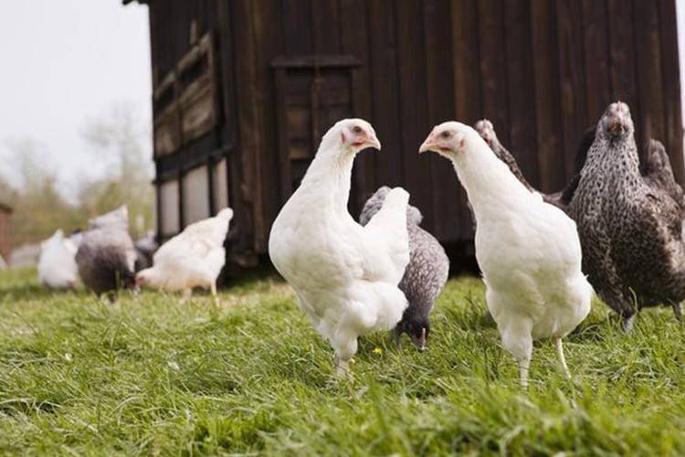 Las gallinas pueden colocar huevos sin un gallo