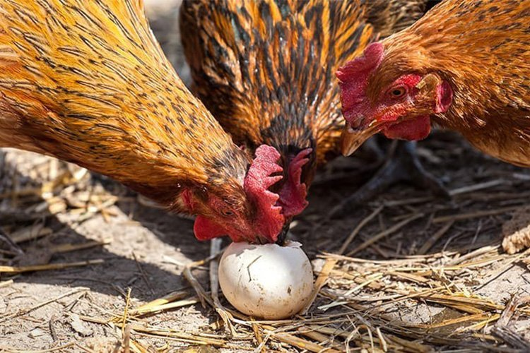 mi gallina se come sus propios huevos