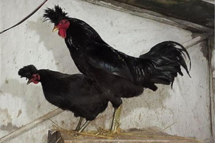 gallinas Kosovo Longcrower