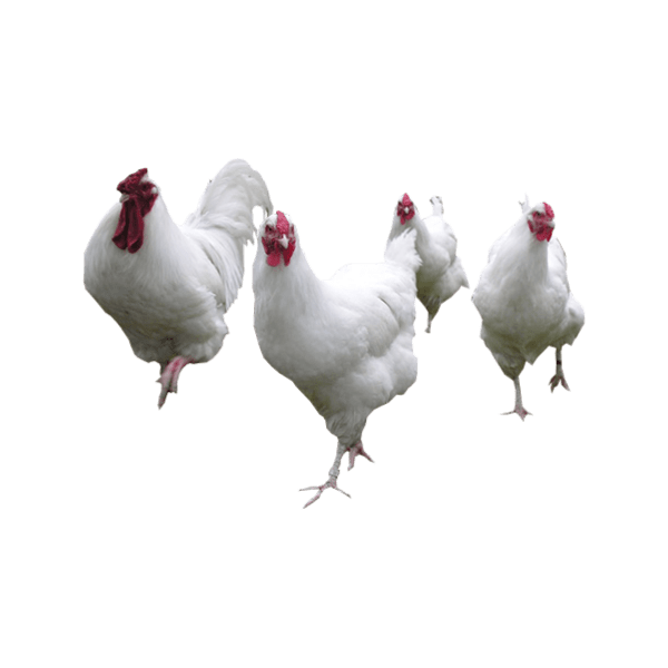 gallinas ponedoras imagen 5