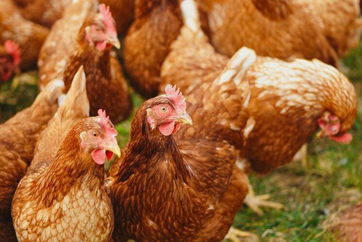 Cosas que no sabias sobre los pollos