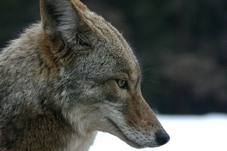 depredadores de las gallinas coyotes