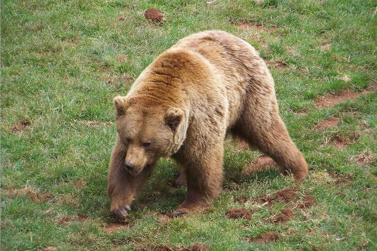 depredadores de las gallinas osos