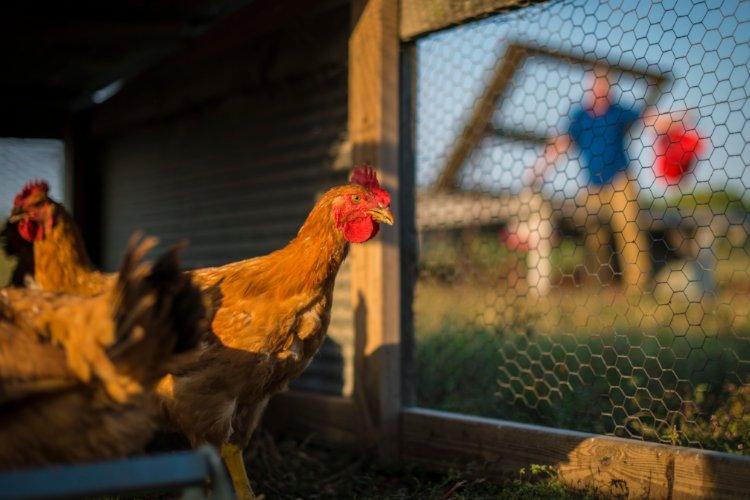 alimentacion y nutricion de pollos y gallinas