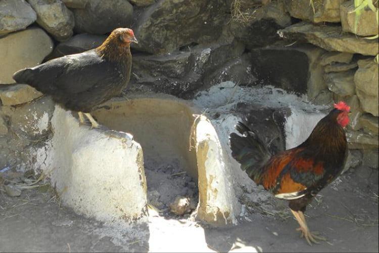 Pollo africano de extremidades largas