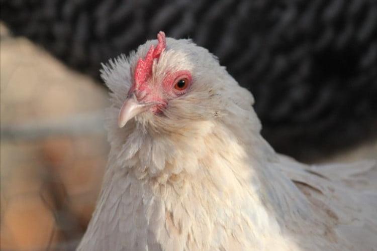 que es un pollo bantam