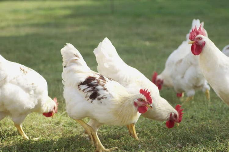 Cuando poner a mis pollos en cuarentena 1