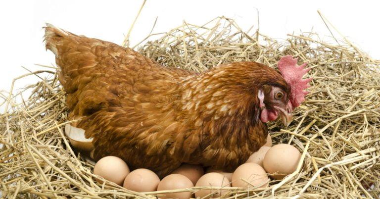 gallina ponedora en el nido