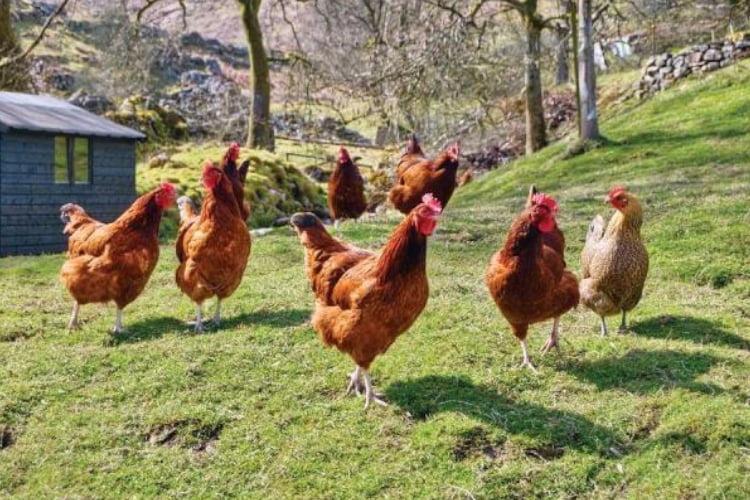 Guia sobre cria de gallinas 1