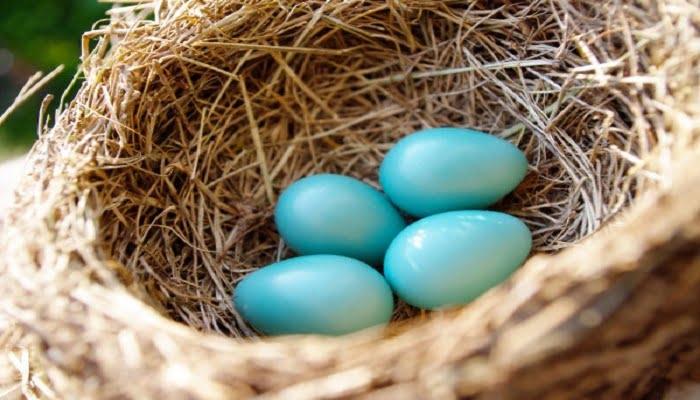 los huevos de las ponedoras