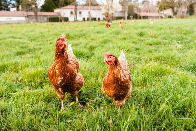vitaminas para gallinas