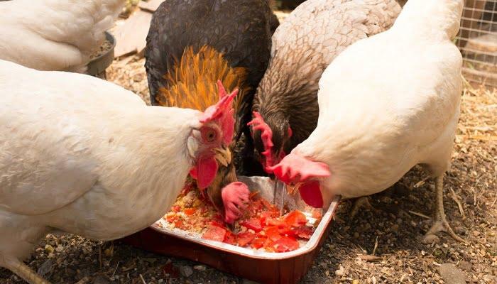 cria y Alimentación de las gallinas ponedoras