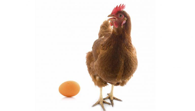 alimentacion de las gallinas 4