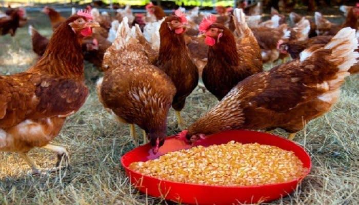 cuidar comida de gallinas ponedoras