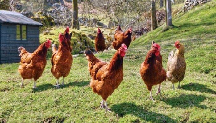 las gallinas ponedoras y su crianza