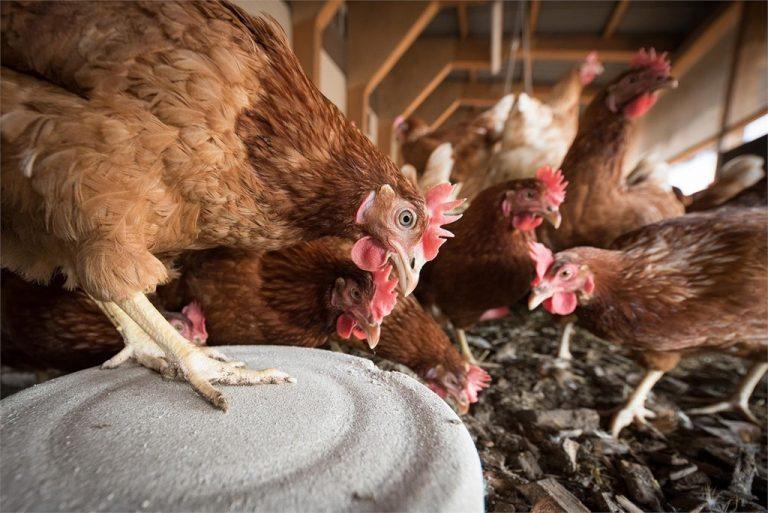 cuidados de las gallinas ponedoras