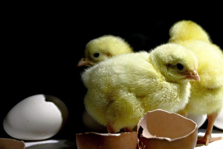 curiosidades de las gallinas ponedoras