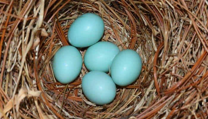 gallina ponedora de huevos