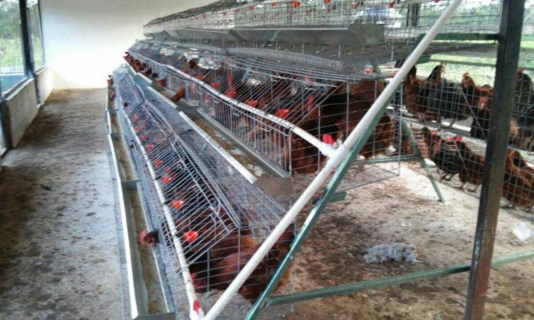 jaulas para gallinas ponedoras
