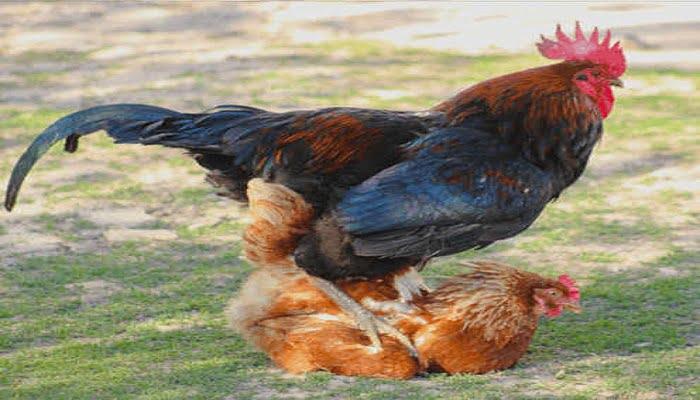 proceso de reproducción de gallinas ponedoras