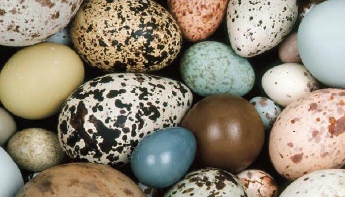 huevos de gallinas ponedoras