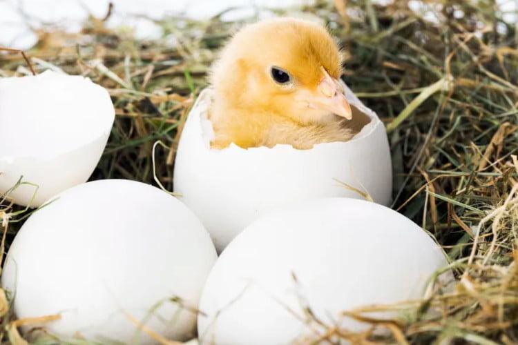 como respiran los pollitos dentro del huevo