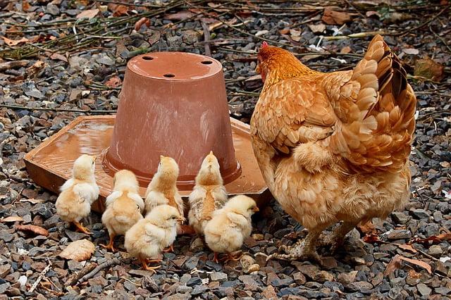 razas de gallina que son las mejores madres