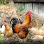 industria avicola india afectado por el coronavirus
