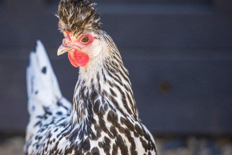 cuidados y alimentación de la gallina Appenzeller Spitzhauben
