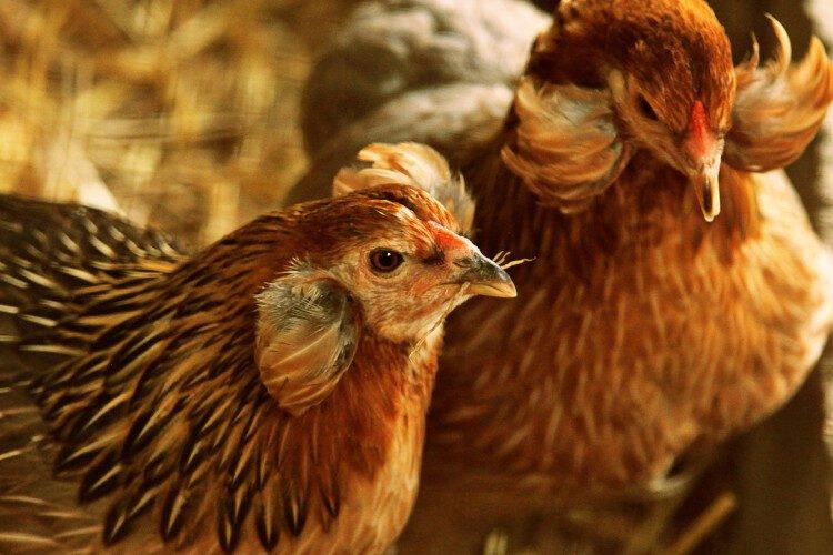 alimentación, crianza y cuidados de la gallina araucana