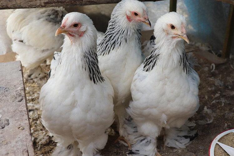 características de las gallina brahma.
