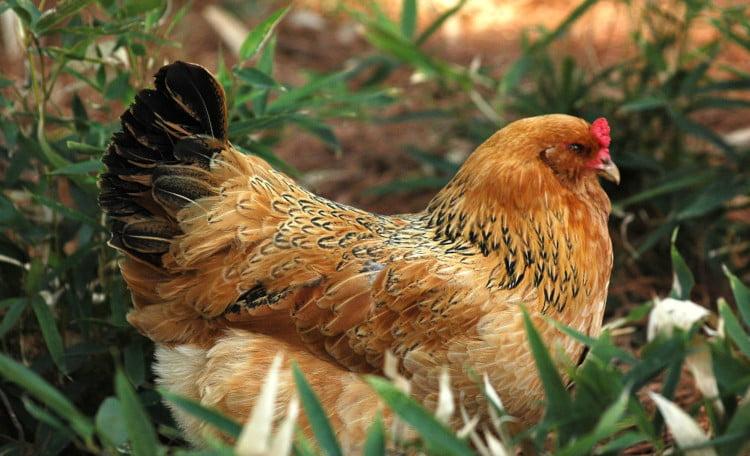 gallina ameraucana cuidados, alimentación crianza y más.