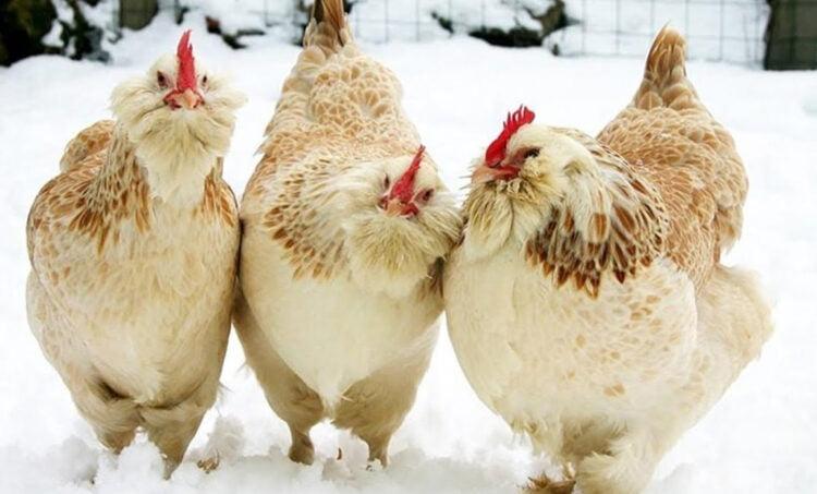 apariencia de la gallina de faverolles