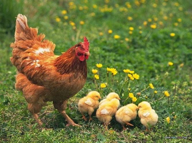 las gallinas de cochinchina son excelentes madres, incluso sera la madre adoptiva de cualquier ave si se lo propone.