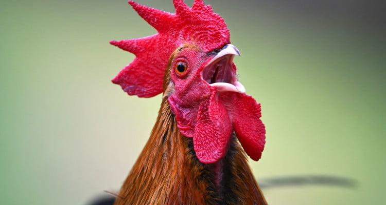 sonidos y ruidos que hacen los gallos y lo que significan