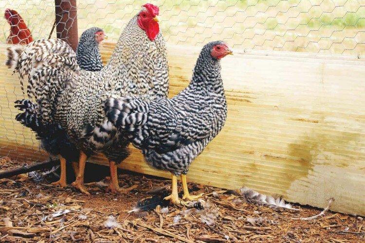 Apariencia de la gallina dominique