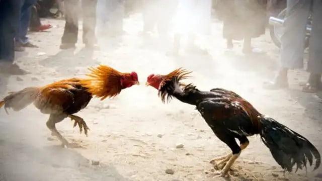 Aseel historia de un gallo de pelea