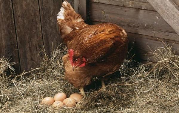beneficios de los huevos de corral