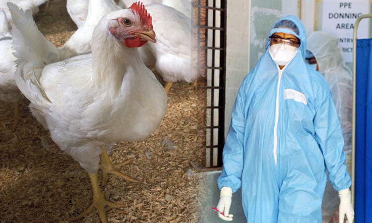 Las gallinas no transmiten el coronavirus