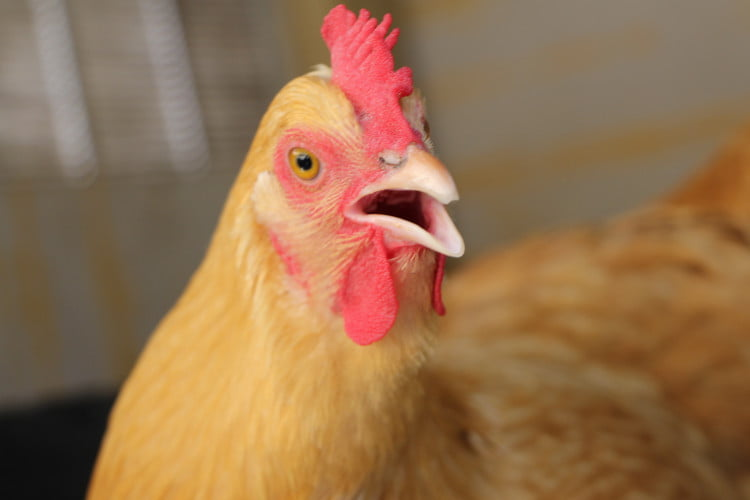 mi gallina cacarea despues de poner un huevo