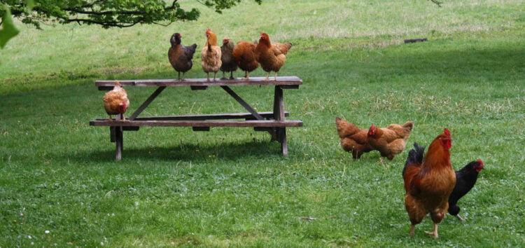 huevos de pollo de corral