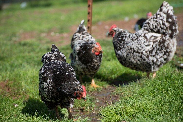 apariencia y características de las gallinas java