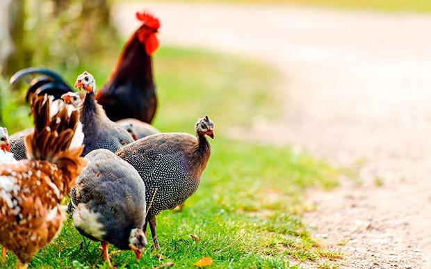 Apariencia y características de la gallina de guinea