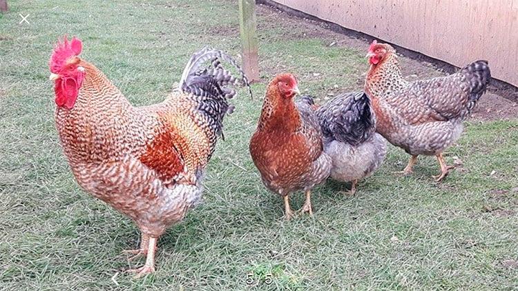 apariencia y características de la gallina Bielefelder