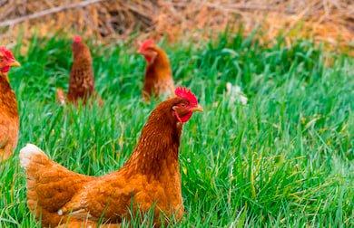 apariencia y características de la gallina shaver roja