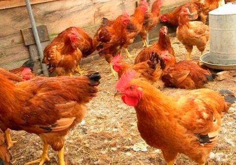 apariencia y características de la gallina vanaraja