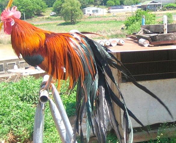 Apariencia y características de la gallina Jangmigye