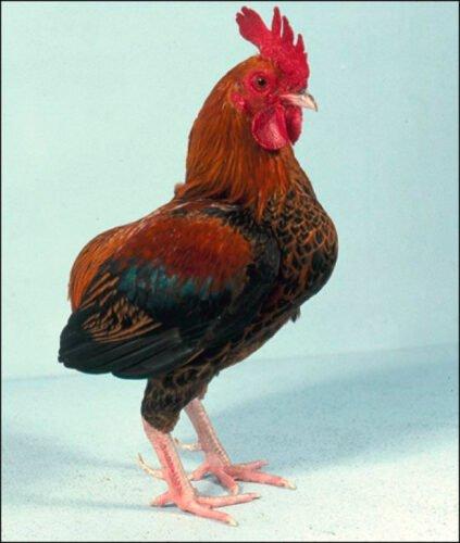 Apariencia y características de la gallina Manx Rumpy