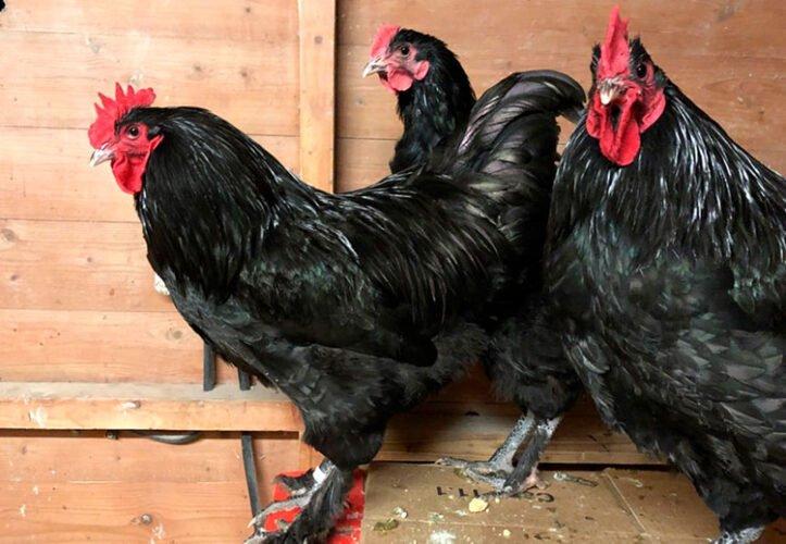 apariencia y características de la gallina croad langshan